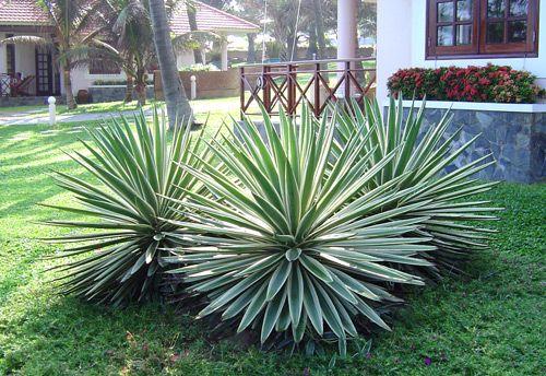 Cây dứa agao là loại cây đặc chủng của Châu Mỹ.