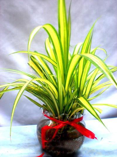 Cây dứa vàng có hình thái rất đẹo mắt rất phù hợp để trồng nội thất.
