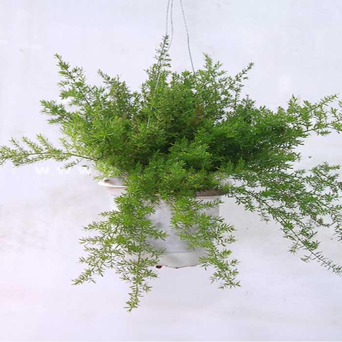 Cây thiên môn đông là cây dạng chùm mang đến sự hài hòa cho không gian sống
