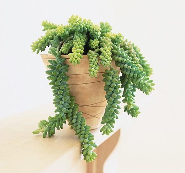 Đặc điểm hình thái đẹp - độc - lạ của cây chuỗi ngọc