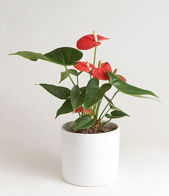 Hướng dẫn chăm sóc cây hồng môn đơn giản nhất